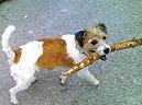 Hund namens Joy trägt Stöckchen