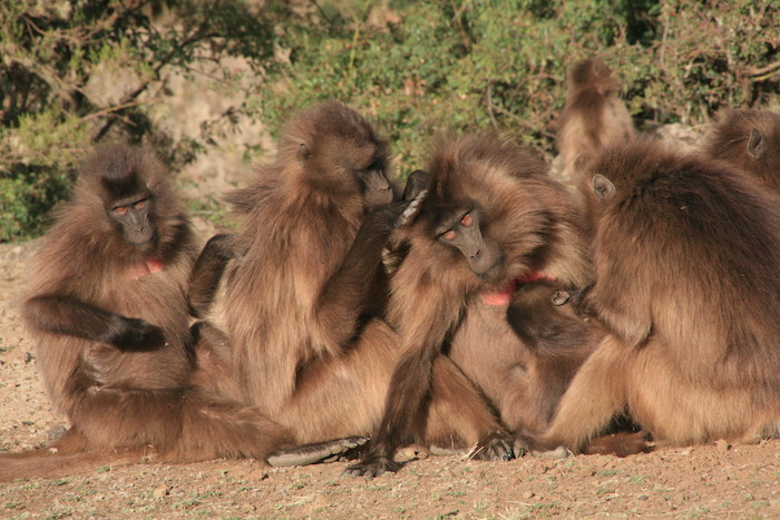 Gelada Baboons.jpg