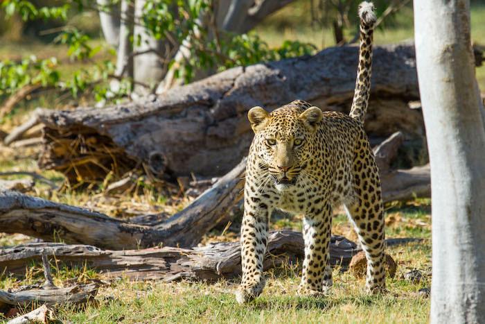 Camp-Moremi-Leopard.jpg