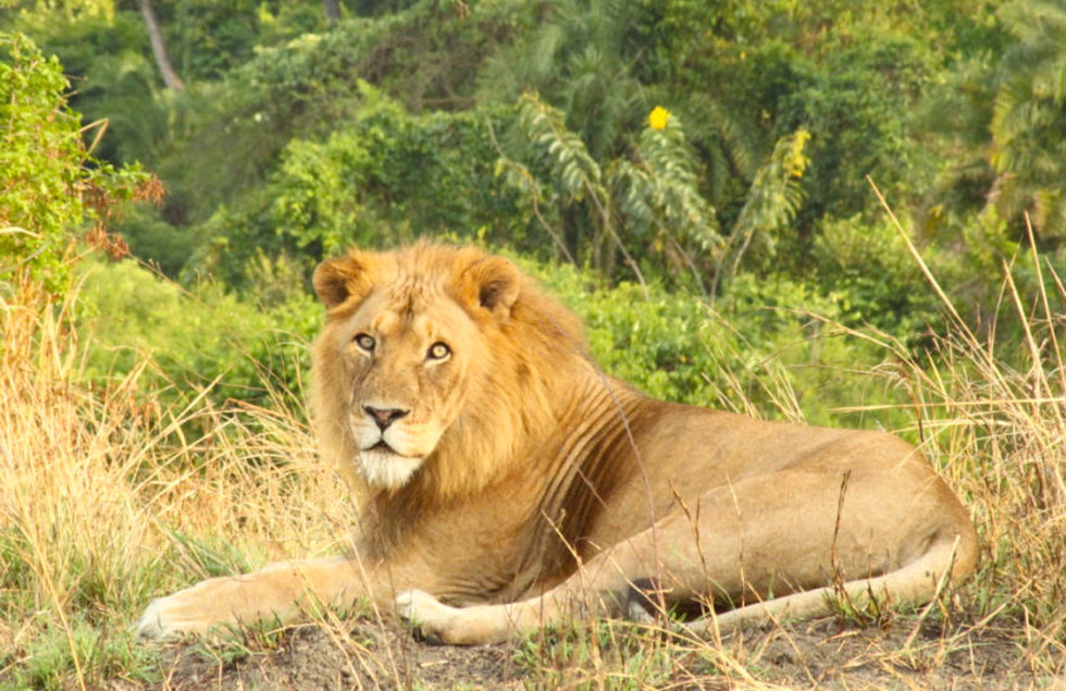 Lion in Semliki.jpg