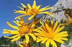 buphthalmum_salicifolium