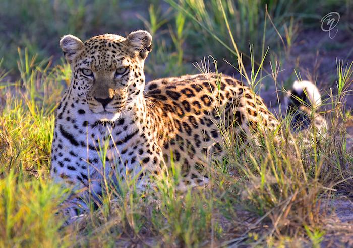 Leopard with WM.jpg