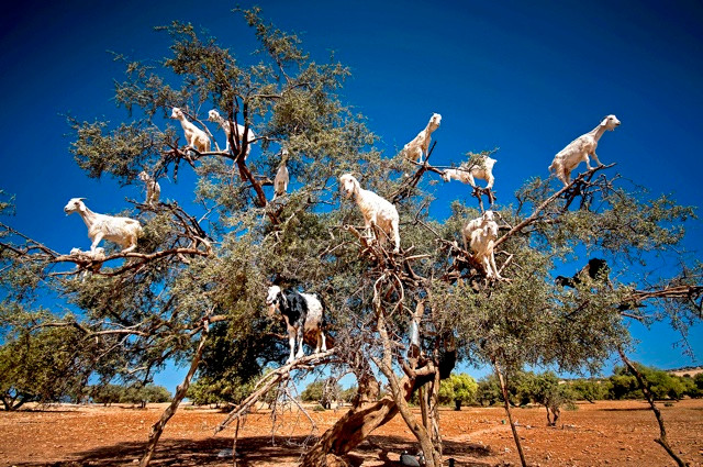 Goats stand in tree in Morrocco to eat the leaves