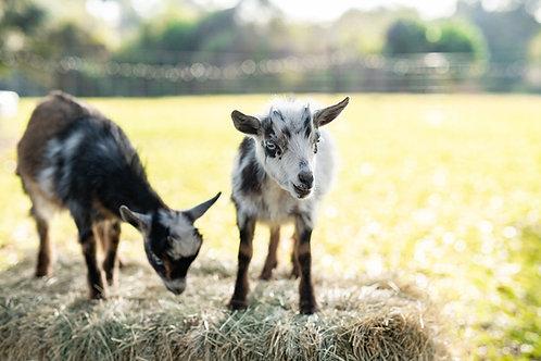 Goat Lovers Pass - $29 per Class
