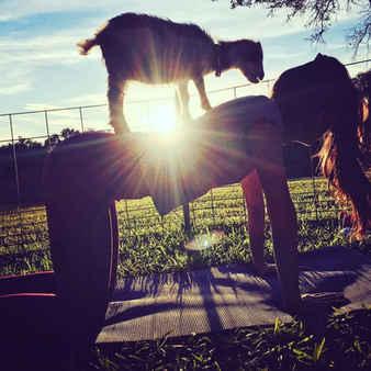 Goat Yoga at Sunset