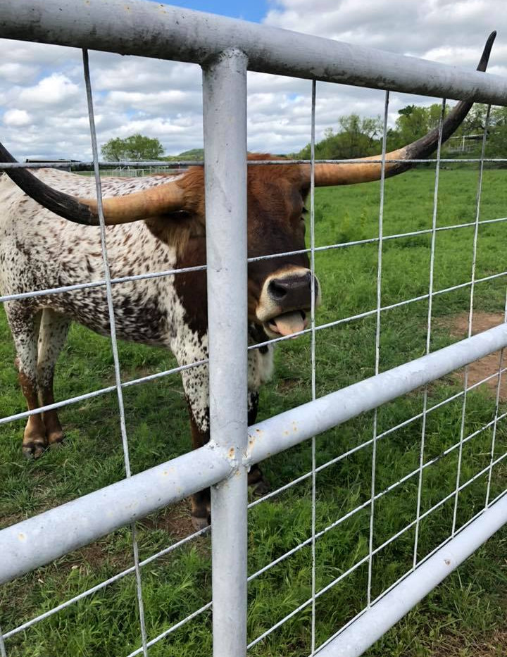 Longhorn wants more treats!.jpg