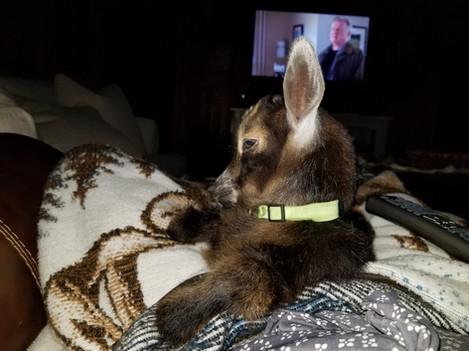 Goat Yoga Baby Sleeping