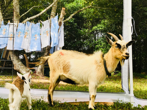 Goat Yoga Katy Tanks