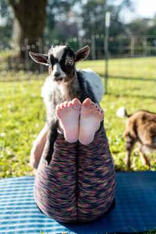 Goat Yoga Chillin