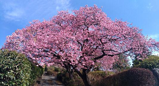 小室桜-210216.jpg