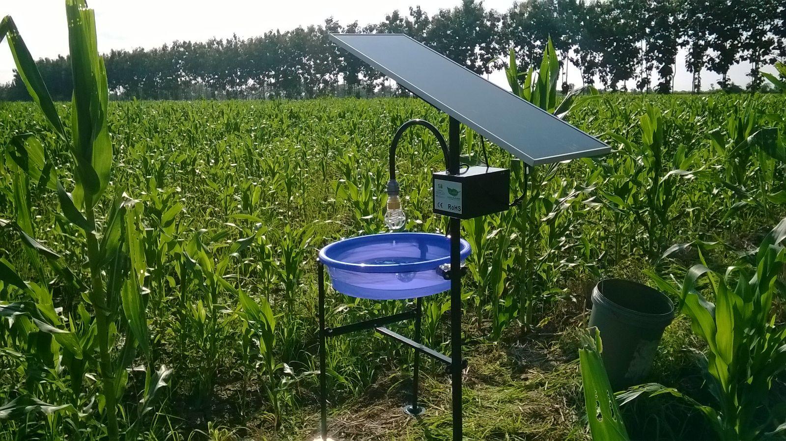 Maiz plantación