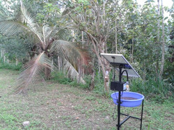 f1. Palma africana