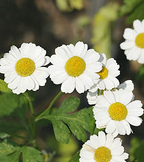3672-6-Amazing-Benefits-Of-Feverfew-For-