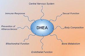 DHEA-effects.jpg