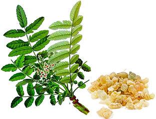 Boswellia-serrata.jpg