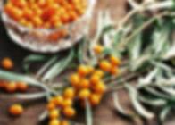 sea-buckthorn-harvest-1024x682.jpg