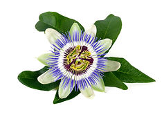 Passionflower+medicinal+actions.jpg