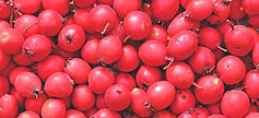 Hawthorn-Berry_HEADER.jpg