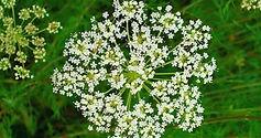 Cnidium-Monnieri-seed.jpg