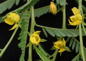 Nomame-Semaherb-Cassia-Nomame-Extract-Po