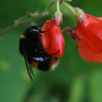 Bumble Bee on Runner Beans