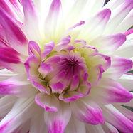 cactusdahliapinkwhite2.JPG