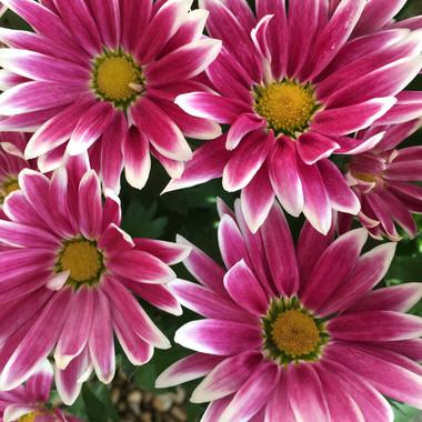 Pink Chrysthanthemums