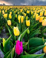 Tulips of 2020