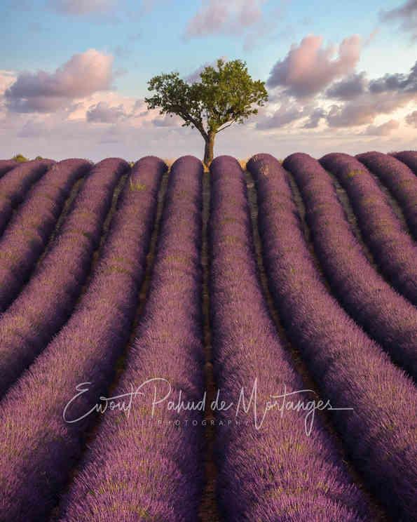 Lavender of Provence - France