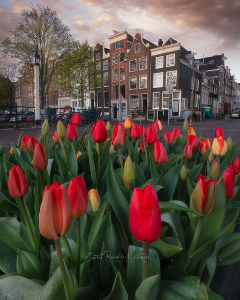 Tulips in the City - Amsterdam