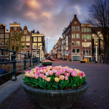 Tulips in Amsterdam