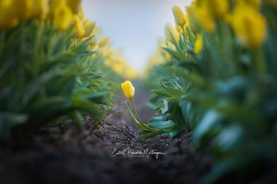 The Lone Tulip