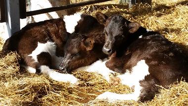 shetland calf