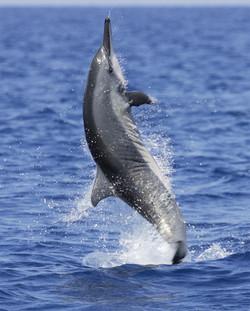 Spinning+spinner+dolphin+-+East+Africa