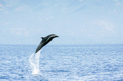 Pantropical Spotted dolphin high leap (P