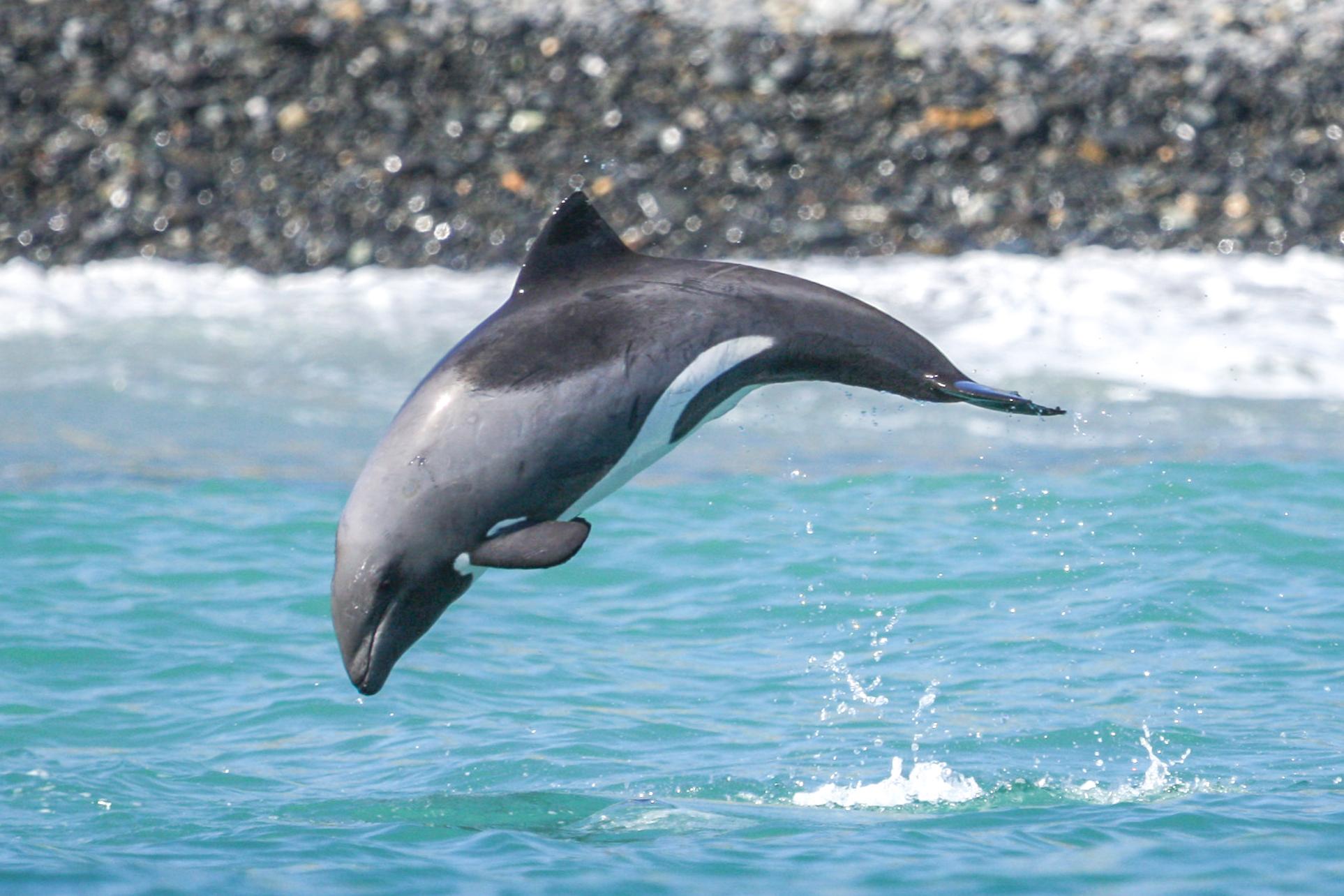 Heaviside's dolphin (Benguela dolphin) (