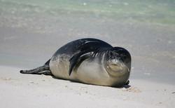 Hawaiian+monk+seal+-+Kure+Atoll