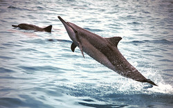 Spinner-dolphin---Midway-At