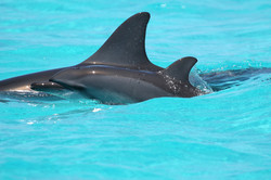 Spinner+dolphin+mom-calf+pair
