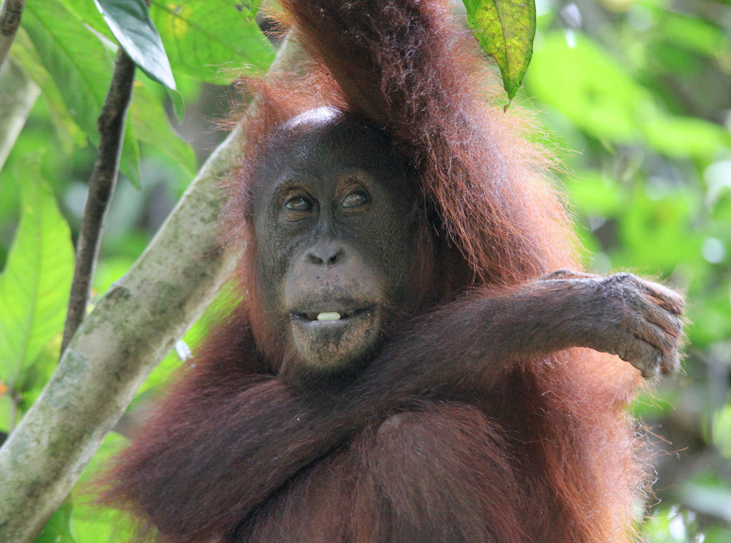Orangutan (Photo by Carmen Or)