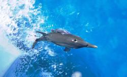Bow-riding+Spotted+dolphin+-+Bahamas