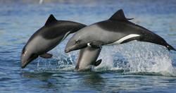 Heaviside's dolphins, Table Bay, South A