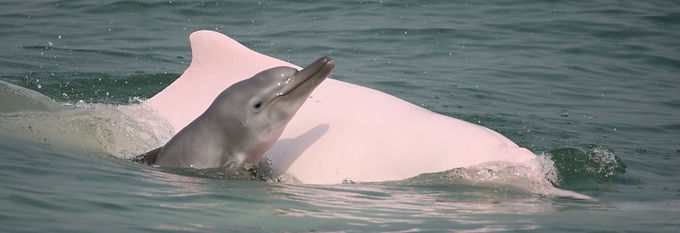 Chinese white dolphin mom and neonate
