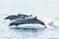 Pantropical Spotted dolphins leaping (Ph