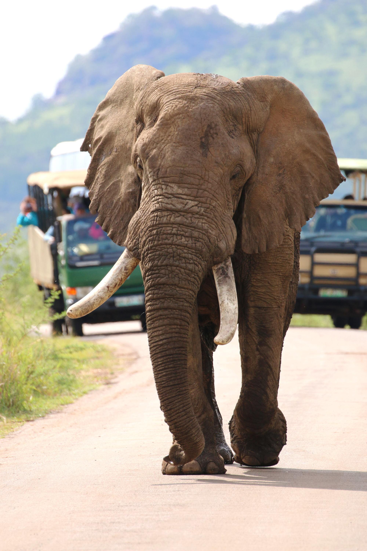 African elephant bull 'Amarula' in Pilanesberg National Park (Photo by Stephen Chan) 2