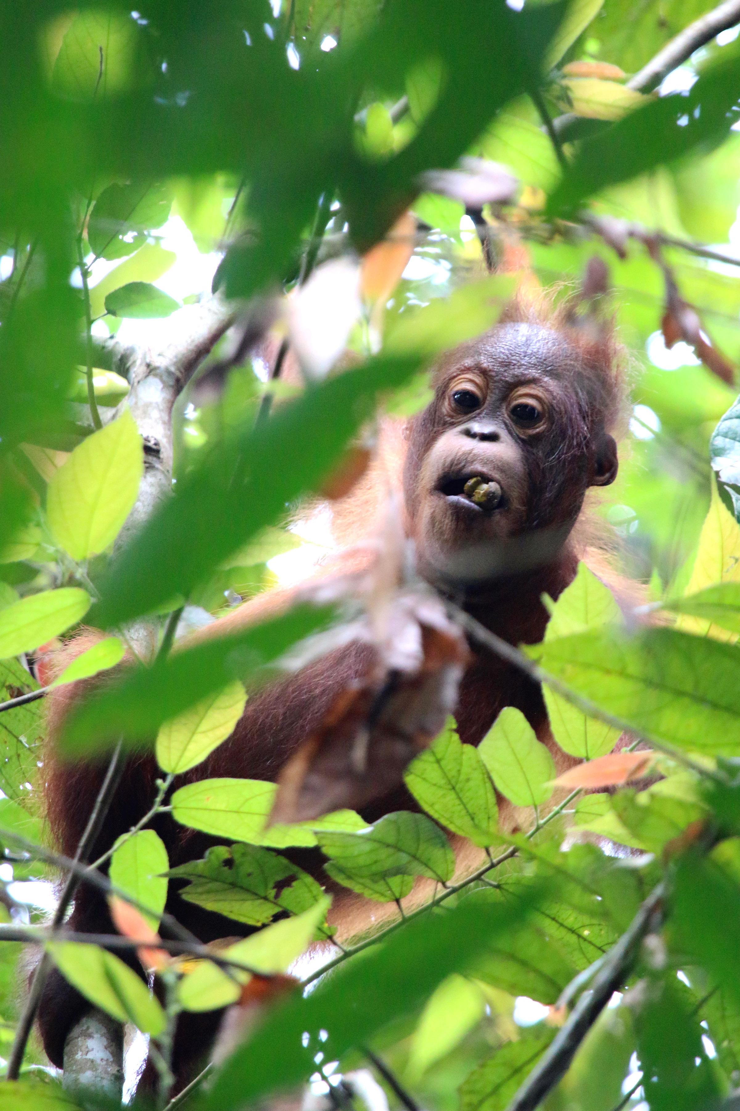 Orangutan baby feeding in Sabah rainfore