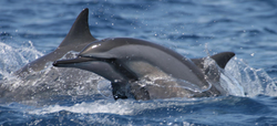Spinner Dolphins in Pemba 2013-7-22-20:2