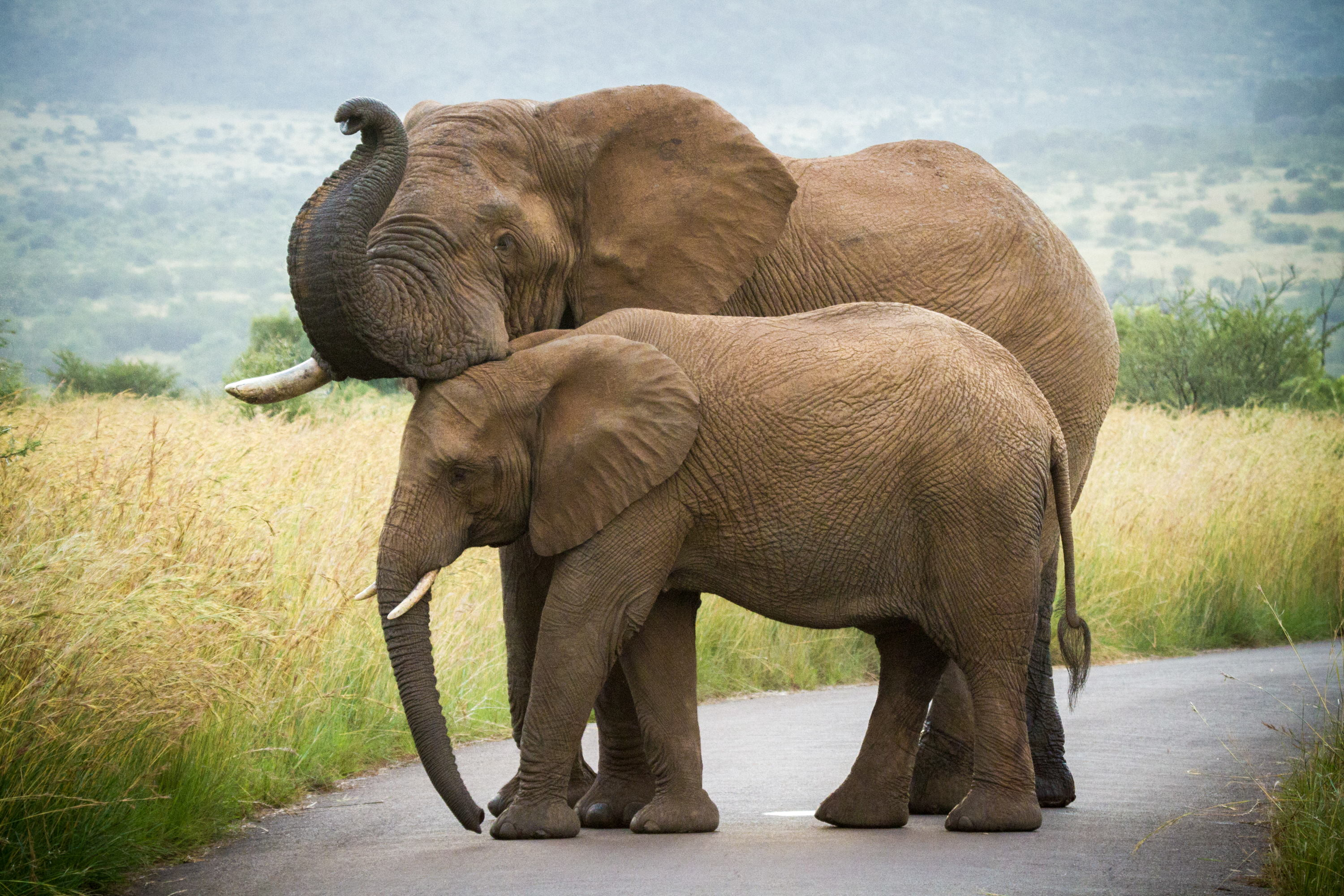 African elephant - cow and juvenile