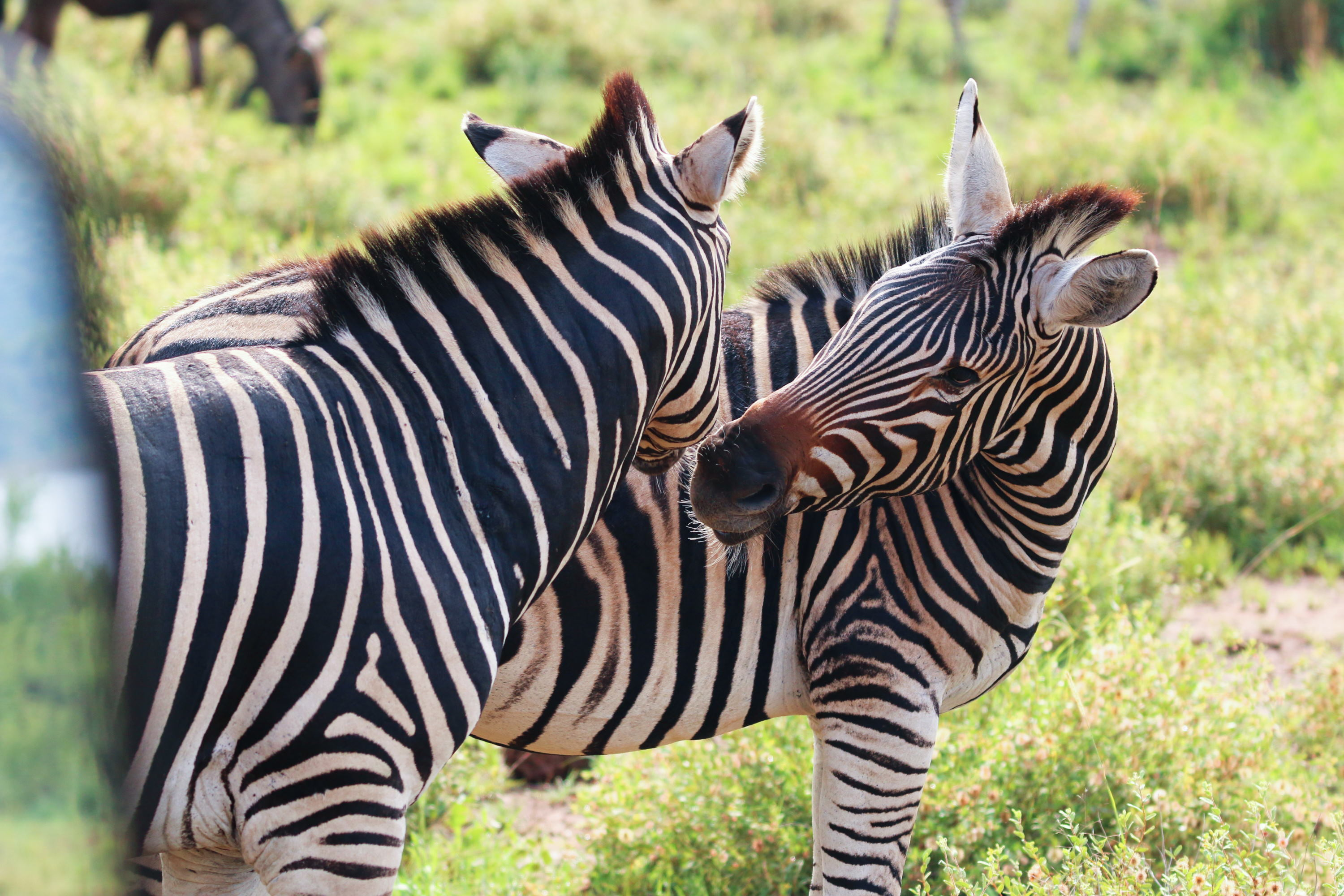 Two zebras socializing (Photo by Stephen Chan)
