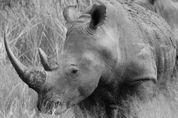 White rhino with ear notches (Photo by Derek Ho)